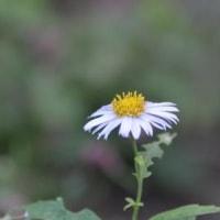 カントウヨメナの花
