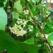 コウモリカズラ:蝙蝠蔓(葉柄が楯状につく)