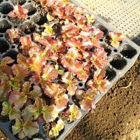大根播種とサニーレタスの混植