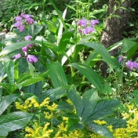 庭に咲く草花たち~メキシコ万年草、シラン(紫蘭)、 ムラサキツユクサ 、マツバギク。