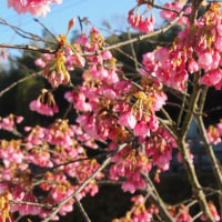 河津桜、かな?