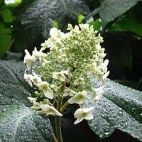 雨に喜ぶアジサイの花