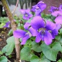 季節の花「菫(すみれ」)」
