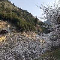 桜が見頃です。
