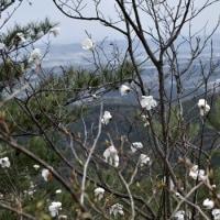 鈴鹿:砂山、ようやくアカヤシオが開花した