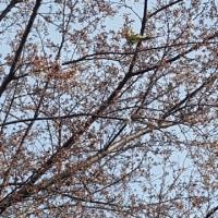 桜にワカケ