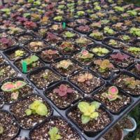 種花広場の出荷用の苗