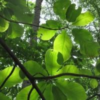 新緑と石楠花の甲武信ヶ岳