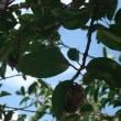 畑の木に蝉の抜け殻