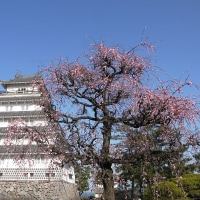 見頃を迎えた島原城の梅