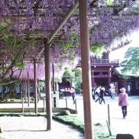 『笠間稲荷神社の大藤』。。。
