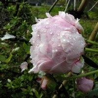 9年前 ずぶ濡れの石楠花
