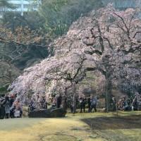 小石川後楽園の しだれ桜・・1