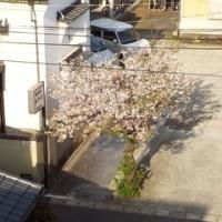 ご近所の、桜(2017年・春)