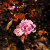 久しぶりのデパート・・色づいたバラの葉っぱと花