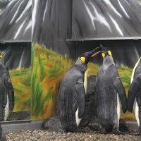 王様ペンギンの首(のびる)