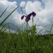 高ボッチ高原・鉢伏山で最近咲いている花 ノハナショウブ(野花菖蒲)