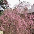 国上寺の桜