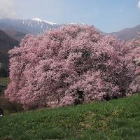 ★伊那谷の桜(3)【伊那市ますみヶ丘の桜】2017