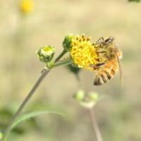 田んぼの畦にセイヨウミツバチ