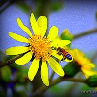 平良幸春沖縄の昆虫写真集 ☆ツワブキとミツバチ (*^_^*)