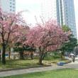 錦糸公園☆八重桜2017