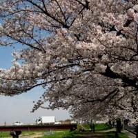 三日見ぬ間の桜かな