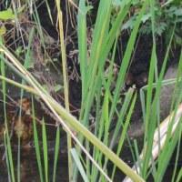 湯布院・大分川のカワセミくんです