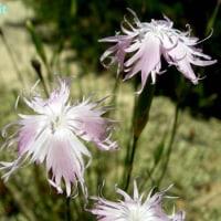 ディアンツス・ブロテリ Dianthus broteri