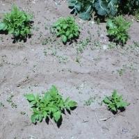 夏野菜の準備、そしてジャガイモの芽欠き