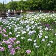 山田池公園 花しょうぶ