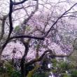 中院、喜多院の枝垂れ桜