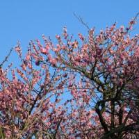 網敷神社の梅