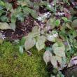 トキワイカリソウの年越し葉