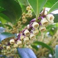 季節の花「柃 (ひさかき)」