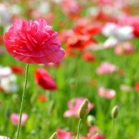 バラ、ポピー、シャクヤクの咲くころ ~長居植物園 「春の歌」
