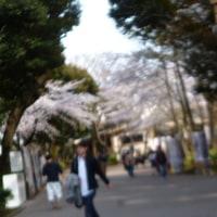 都心の サクラ 桜<目白