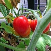 ミニトマトが色付き始めました