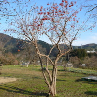 一関市東山町「館山公園」のカンボク(肝木) 2016年12月9日(金)