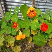 テイカカズラと池田のおばさまのお花 (17-628)