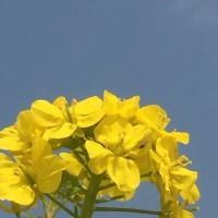 春の訪れ 菜の花畑