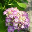鮮やか紫陽花。