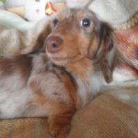 犬のクッシング病  副腎皮質機能亢進症とは ?