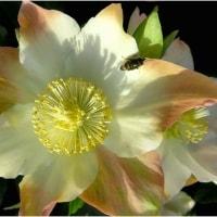 寒椿とザクロのモミジ葉。  (長居植物園・大阪市)   16・12.2