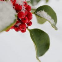 雪と花 クロガネモチ
