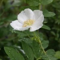 アネモネ カナデンシス、ムシトリナデシコ、白花オオタカネバラ