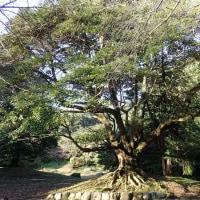 タブノキの枝振りは木登りに最適です。