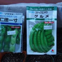 スナップエンドウの種蒔き。