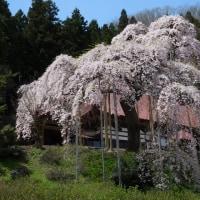今週3回目の桜は!?