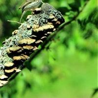 今日の野鳥   オオタカ・ビンズイ・ヤマガラ